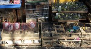 Kaniner och undulater