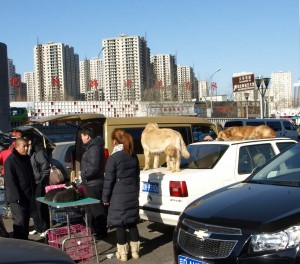 Hundvalpar till salu i Beijing