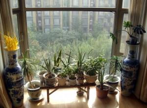 Nu är alla krukväxterna inomhus inför vintern
